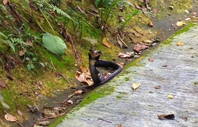 cobra snake hong kong hk hiking